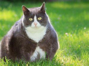 katttenvoer-kattenvoeding-obese-overgewicht-kat